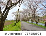 the cherry blossoms which bloom ... | Shutterstock . vector #797650975