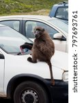 baboon  animal  wildlife | Shutterstock . vector #797693761