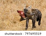 Spotted Hyena Cub Carrying Off...