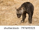 very young spotted hyena cub... | Shutterstock . vector #797695525