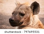spotted hyena staring intently... | Shutterstock . vector #797695531