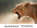 lioness displays dangerous... | Shutterstock . vector #79769953