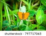 beautiful orange scarce copper... | Shutterstock . vector #797717065