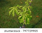 ceiba pentandra  l.  gaertn... | Shutterstock . vector #797729905
