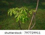 ceiba pentandra  l.  gaertn... | Shutterstock . vector #797729911