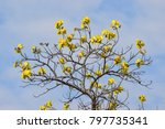 Golden Silk Cotton Tree  ...