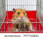 Stock photo cute funny syrian hamster looking out of the cage 797743831