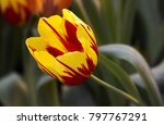 close up fluffy red yellow... | Shutterstock . vector #797767291