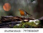 european robin  erithacus... | Shutterstock . vector #797806069