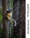 diademed sifaka   propithecus... | Shutterstock . vector #797812699