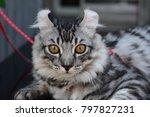 close up american curl kitten 7 ... | Shutterstock . vector #797827231