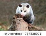 Curious Young Possum On A Log