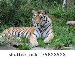 tiger | Shutterstock . vector #79823923