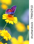Stock photo purple shot copper lycaena alciphron 79842910