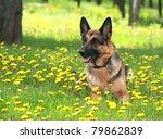Dog  German Shepherd Lies On A...