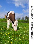 the calf on a summer pasture | Shutterstock . vector #79894975