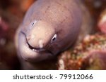 White eyed moray eel, in the Andaman Sea, Thailand. - stock photo