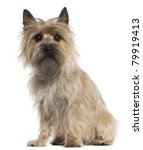 Cairn Terrier  18 Months Old ...