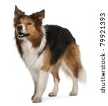 Male Border Collie  3 Years Ol...