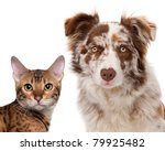 Stock photo red merle border collie months old and a bengal cat months old in front of a white background 79925482