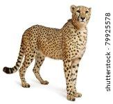 Cheetah  Acinonyx Jubatus  18...