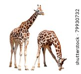giraffes isolated | Shutterstock . vector #79930732