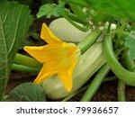 flowering marrow with fruits   Shutterstock . vector #79936657