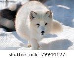 Polar Fox  Alopex Lagopus ...