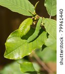 Small photo of Brimstone Butterfly Caterpillar on Alder Buckthorn