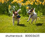 Two Jack Russell Terriers...