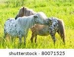 Two Appaloosa Ponies Grooming...