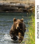 Grizzly Bear Running For Salmon....