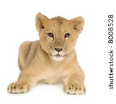 Lion Cub  5 Months  In Front O...