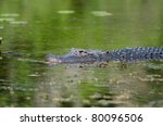 An American Alligator In The...