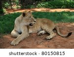 African Lioness  Panthera Leo ...