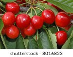 red cherries at the tree - stock photo