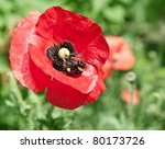 Close Up Shot Of Tender Poppy...