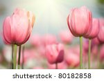 Blooming Spring Flowers Tulips...