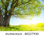 big tree with fresh green... | Shutterstock . vector #80227930