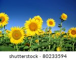 Sunflowers At The Field In...