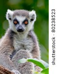 Beautiful Specimen Of Lemur Of...