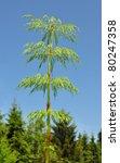 Wood Horsetail  Equisetum...