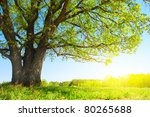 big tree with fresh green... | Shutterstock . vector #80265688