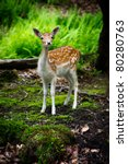 Stock photo a young fallow deer fawn dama dama in its natural habitat looks curiously at the camera 80280763