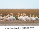 white pelicans in the danube... | Shutterstock . vector #80302696