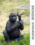 Stock photo funny image of a young gorilla sticking up its middle finger 80304268