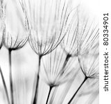 Stock photo black and white abstract dandelion flower background extreme closeup with soft focus 80334901
