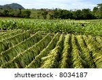 Tobacco plantation in Cuba - stock photo