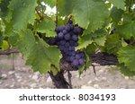 Blue grapes at the vineyard - stock photo