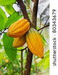 Cocoa Tree With Pods  Bali...